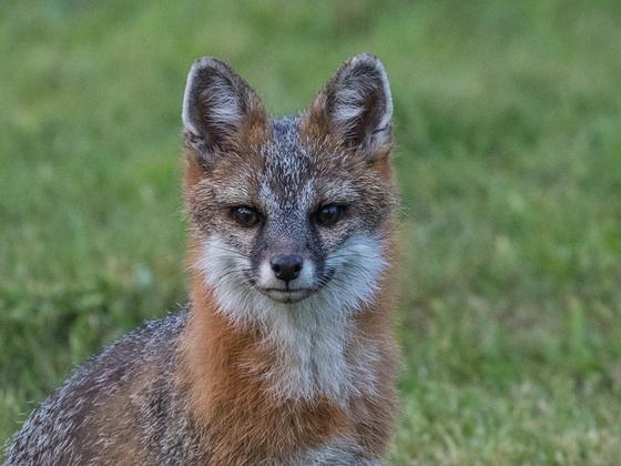 Fuchs in Maine