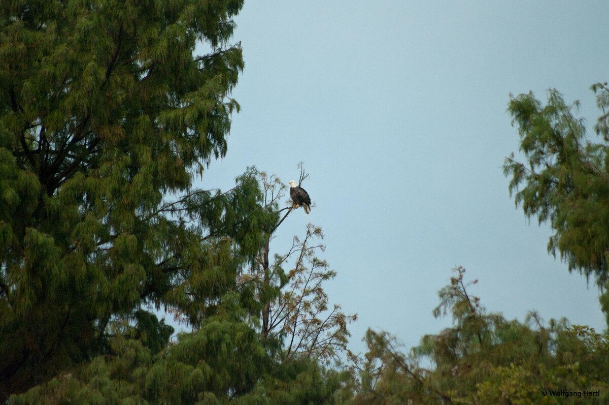 Weißkopfseeadler am Reelfoot Lake, USA