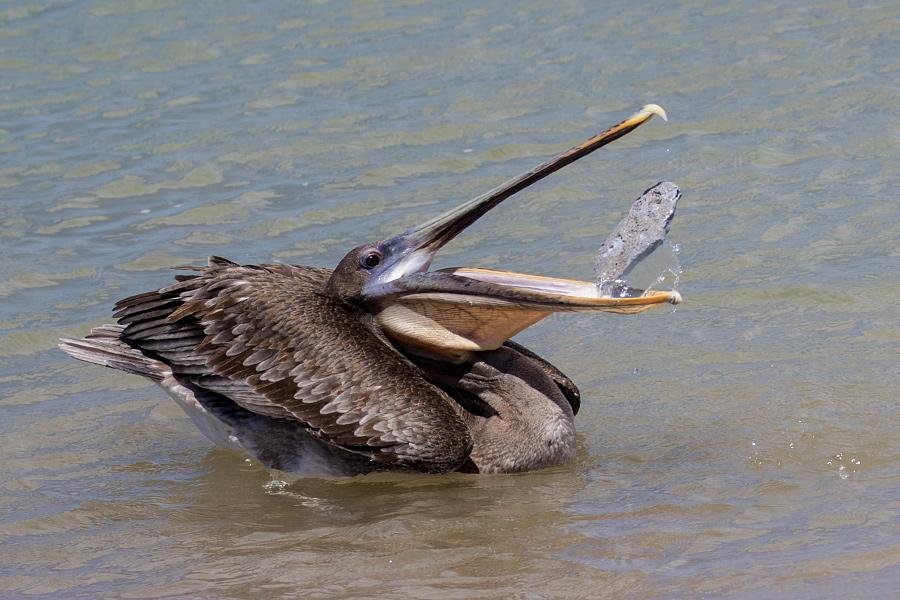 Brauner Pelikan auf Galapagos