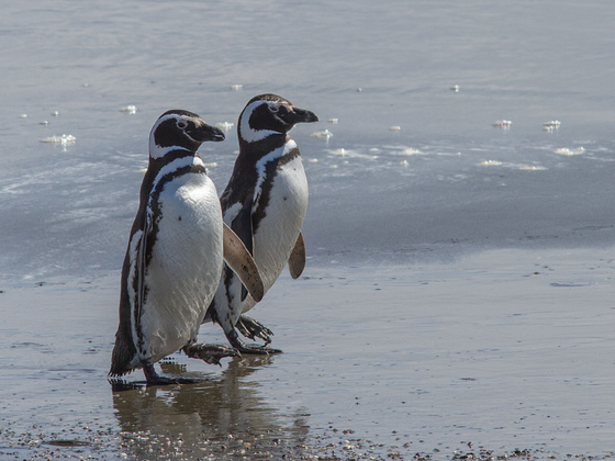 Magellan-Pinguine in Seno Otway