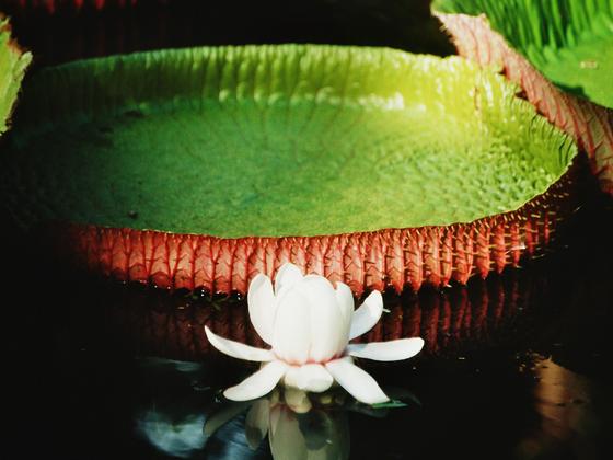 Seerosenblätter auf Mauritius