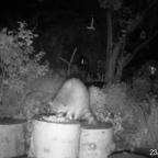 Der Waschbär im Garten