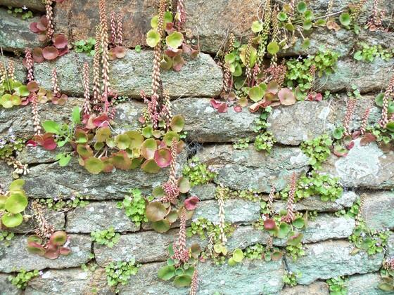 Mauerblümchen in der Bretagne