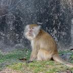 Affe auf Tioman Island