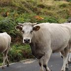 Kuhherde im Hochland von Pico